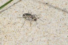 Hairy Necked Tiger Beetle (brucetopher) Tags: tigerbeetle tiger beetle cicindela beach beachtigerbeetle insect bug critter creature tiny beauty beautiful pattern elytra maculations shell camouflage fast tease frustrating elusive animal outdoor