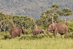 Just A Morning Snack (The Spirit of the World) Tags: elephants morning trees landscape masaimara kenya nationalpark gamereserve wildlife nature africa eastafrica grassland safari gamedrive ngc