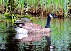 Goose (westietess) Tags: moresbypond birds april