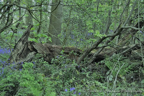 BlueBell Woods, Knott End on Sea