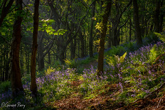 Margam Woods (parry101) Tags: south wales southwales woods bluebell bluebells tree trees nature wood woodland forest geraint parry geraintparry landscape flower flowers green blue purple margam margamwoods