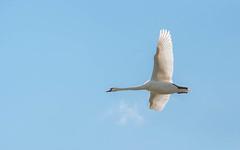 swans (03) (Vlado Ferenčić) Tags: swans flight sky crnamlaka croatia hrvatska animals animalplanet birds nikond90 sigma150500563