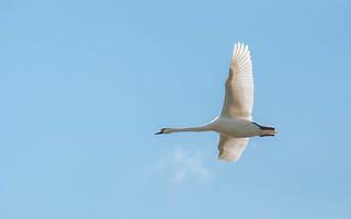 swans (03)