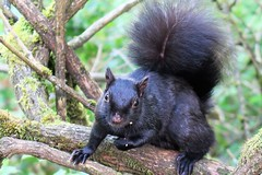 Squirrel (Cathy Salter1) Tags: squirrel stanleypark vancouver snacking