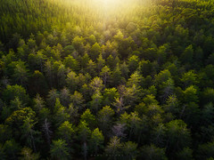 There Is a Light (Mark McLeod 80) Tags: creswick victoria australia au ballarat markmcleod markmcleodphotography dji phantom4pro aerial forest trees