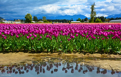 'Reflections' - Tulips of the Valley Festival (SonjaPetersonPh♡tography) Tags: chilliwack britishcolumbia canada tulipsofthevalleyfestival tulips festival tulipsofthevalley flowers fields nikon nikond5200 afsdxnikkor18300mmf3563gedvr tulipsfields blooming blooms tulip gardens fraservalley spring springtime tulipfields tulipfestival people visitors landscape
