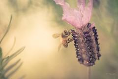 Lil Honey Bee (CORDAN) Tags: cordan dmyers 2017 nikond500 nikkor105mmf28vrmicro portangeles backyard micro closeup macro pollen honeybee bees bee honey