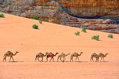 Crossing the warm red desert (maios) Tags: camels red desert reddesert sand calm warm jordan wadram nikond7100 nikon d7100 plant water animal line diagonal summer augast sun rock mount maios flickr seven greenplant