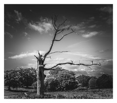O U T C A S T (frattonparker) Tags: nikond810 nikkor50mmf18 lightroom6 vertorama verticalpanorama trees isleofwight btonner frattonparker monochrome