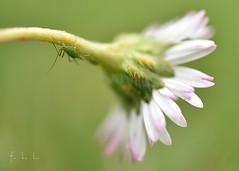 La pâquerette et le puceron (FLL087) Tags: macro fleur jardin limousin nature extérieur flower