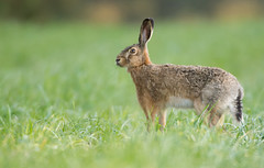 Alert Brown Hare (Wouter's Wildlife Photography) Tags: brownhare europeanbrownhare hare animal nature naturephotography mammal rodent wildlife wildlifephotography alert lepuseuropaeus