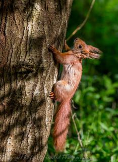 Red squirrel - (Sciurus vulgaris) Best viewed large (Explored)