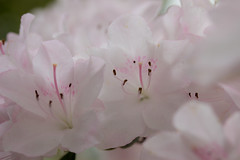 Week 21 Artistic:Soft (arlene sopranzetti) Tags: azalea dogwood2017 dogwood2017week21 soft pastel blush pink