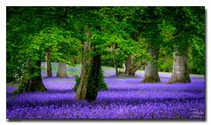 Bluebell-Blanket (jeremy willcocks) Tags: enysgardens colour landscape trees bluebells blanket sun shadows jeremywillcocks wwwsouthwestscenesmeuk fujixpro2 xf50140mm