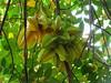 Starfruits (joegoauk73) Tags: joegoauk goa shor zor spring