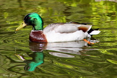Looking good (alpenfrankie) Tags: canon eos 1100d wildlife animals bird duck mallard reflection nationaltrust water colour
