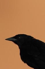 Tordo Sudamericano (JennaF.) Tags: ave negro blackbird arboles primer plano lima peru universidad antonio ruiz de montoya uarm animal jardin horacio tordo sudamericano