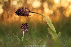 AMA - MADRE (Obikani) Tags: orquídea flor macro orchispurpurea luz madre ama álava araba euskadi canonikos