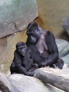 Brookfield, IL, Brookfield Zoo, Gorilla Mother and Child