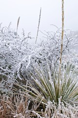 Frosty Morning in Big Bend (Ken'sKam) Tags: frost bigbend bigbendnp winter cold plants desert texas