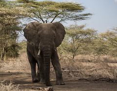 When a broken tusk is a good thing (Ring a Ding Ding) Tags: 2017 africa animal elephant loxodontaafricana ndutu nomad serengeti male nature outdoor safari wildlife arusharegion tanzania coth