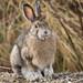 Baleful Bunny