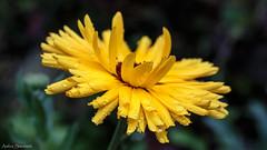 Calendula (ambrasimonetti) Tags: save earth calendula rain drops yellow