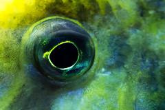 fish eye (Sabinche) Tags: macromondays eye fish giraffehap macro animal green yellow blue