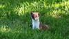 QV4A8400c (RobJHarrison) Tags: stoat unitedkingdom england curryrivel backlane nature mammals exportflag
