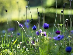 Anemones in the garden (ΞSSΞ®®Ξ) Tags: ξssξ®®ξ pentax k5 colors bokeh smcpentaxm50mmf17 italy spring 2017 plant outdoor depthoffield anemonecoronaria blossom purple green light fabriano appennini nature flowers meadow focus grass pov perspective dof marche flower garden