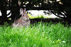 Eastern Cottontail (Sylvilagus floridanus) (iecharleton) Tags: easterncottontail rabbit sylvilagusfloridanus fauna conejo coniglio dof