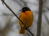 untitled-7825 (bobclark330) Tags: baltimoreoriole lakepark