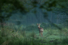 L'heure bleue (Eric Penet) Tags: brocard chevreuil cervidé mammifère mormal mâle mammal roedeer roe wildlife wild forêt locquignol animal sauvage avesnois printemps mai ambiance matin forest france nord nature