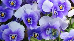 Perfect Love (✿ Graça Vargas ✿) Tags: violaxwittrockiana pansy amorperfeito flower graçavargas ©2017graçavargasallrightsreserved barcelona espanha purple 13608160517