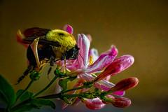 honeysuckle drunk bee (boriches) Tags: honeysuckle bee