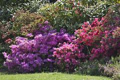 2017.05.10.002 PARIS - Parc Floral - Rhododendrons (alainmichot93 (Bonjour à tous - Hello everyone)) Tags: 2017 france îledefrance seine paris paris12èmearrondissement boisdevincennes parcfloral fleur flower fiore flor rhododendron jardin parc nikon mauve violet rose rouge