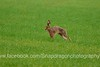 DSC_6914 (c9mpc) Tags: hare hares wildlife lincolnshire rasen rural green red illusive field running sprinting