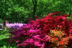 Britzer Garten 17-5-2017 (sigkan) Tags: deutschland berlin britzergarten rododendronblüte hdr 2017 nikond700 sigma70300mmf456apo
