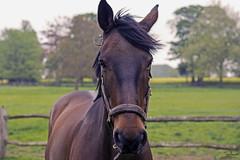 Hello (Tony_Brasier) Tags: nikon horse faversham fieds kent me13 england riding trees 50mm d7200 down sky no sun
