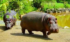 The common hippopotamus (Hippopotamus amphibius), or hippo (+3) (peggyhr) Tags: peggyhr hippopotamusamphibus hippo dsc01339a thegreatervancouverzoo aldergrove bc canada carolinasfarmfriends thegalaxy thegalaxyhalloffame thegalaxystars level1pfr thelooklevel1red super~sixbronze☆stage1☆ frameit~level01~ musictomyeyes~l1 ♣mothernature thelooklevel2yellow thelooklevel3orange