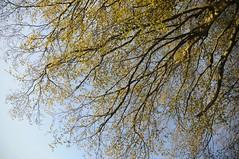 Junge Blätter und Blüten der Buche (Fagus sylvatica); Bergenhusen, Stapelholm (55) (Chironius) Tags: stapelholm bergenhusen schleswigholstein deutschland germany allemagne alemania germania германия niemcy grün rosids fabids buchenartige fagales buchengewächse fagaceae fagoideae buchen baum bäume tree trees arbre дерево árbol arbres деревья árboles albero rotbuche faia kayın beuken бук bok árvore ağaç boom träd fagus blüte blossom flower fleur flor fiore blüten цветок цветение geg