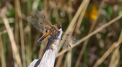 Four Spotted Chaser - Libellula quadrimaculata 080517 (Explored) (Richard Collier - Wildlife and Travel Photography) Tags: wildlife naturalhistory insects british britishinsect dragonfly fourspottedchaser libellulaquadrimaculata closeup