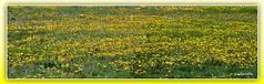 Dandelions 2 (andantheandanthe) Tags: spring flower flowers blossom depthinfiield field floret wild wildflowers dandelions