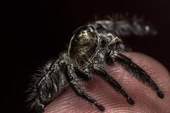 1.0 Hyllus diardi (Salticidae Europe) Tags: jumping spider salticidae jumper cute macro photography invertebrate arachnology science springspinne spinne wissenschaft biologie biology