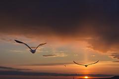 fight for life (ИвайлоВеликов) Tags: sky birds sunset color sun clouds animals beautiful flight seagull cloud fight ngc animalplanet