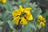 Nature 1 - Mount Parnitha (st.delis) Tags: φυτό κίτρινοάνθοσ έντομο ελληνικήχλωρίδα βουνό πάρνηθα αττική ελλάδα plant yellowblossom insect greekflora mount parnitha attica hellas