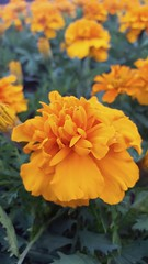 Tagetes (Iggy Y) Tags: tagetes spring blossom flowers orange color flower green leav nature plant herb day light kadifica marigold