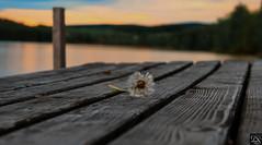 lost and found (schda22) Tags: longexposure sundown sea see bavaria germany oberpfalz upperpalatinate canon 7dmkii sigma ufer wasser flus landschaft ruhe stille blume schön steg meer wetter time
