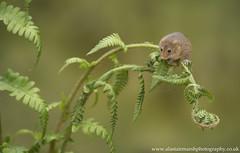 Harvest Mouse (Alastair Marsh Photography) Tags: harvestmouse harvest harvestmice mouse mice fern macro animal animals wildlife animalsintheirlandscape britishwildlife britishanimals britishanimal mammal mammals smallmammal smallmammals britishmammals britishmammal