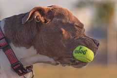 Catch (Cruzin Canines Photography) Tags: animal animals canon canoneos5ds canine canon5ds 5ds eos5ds tamron tamron28300mmf3563divcpzd molly dog dogs domestic domesticanimal mammal pet pets pitbull pit pitbullterrier americanpitbullterrier action dogpark outdoors outside bakersfield california kerncounty closeup portrait cute girl female ball